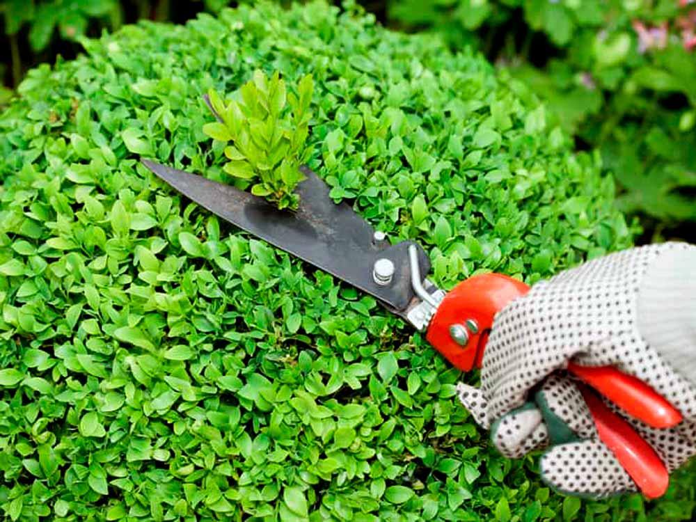 Стрижка и обрезка кустарников, живая изгородь уход и обрезка, стрижка живой изгороди
