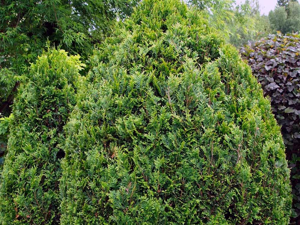 Стрижка хвойных пород, живая изгородь стрижка и уход, хвойные породы изгородь