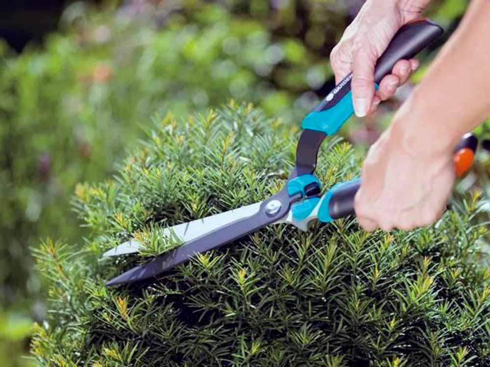 живая изгородь уход и обрезка, стрижка живой изгороди,